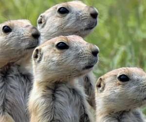 عندما تسافر عبر المراعي في أمريكا الوسطى والغربية فربما سوف ترى أو تسمع عن كلاب البراري التي لا تعد ولا تحصى، فهناك الملايين من هذه القوارض الرائعة ...