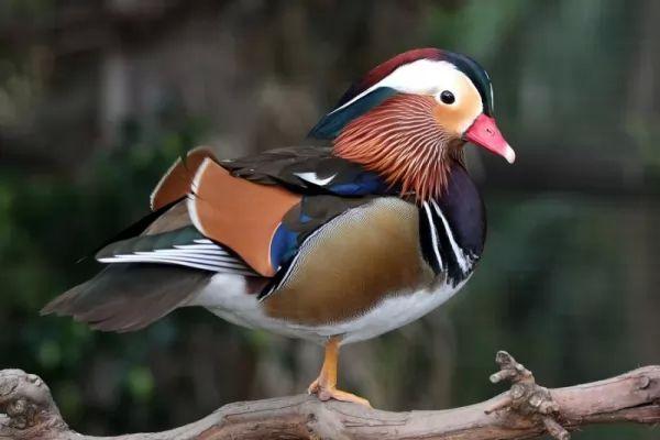 أنواع البط البري wild-duck-species_10