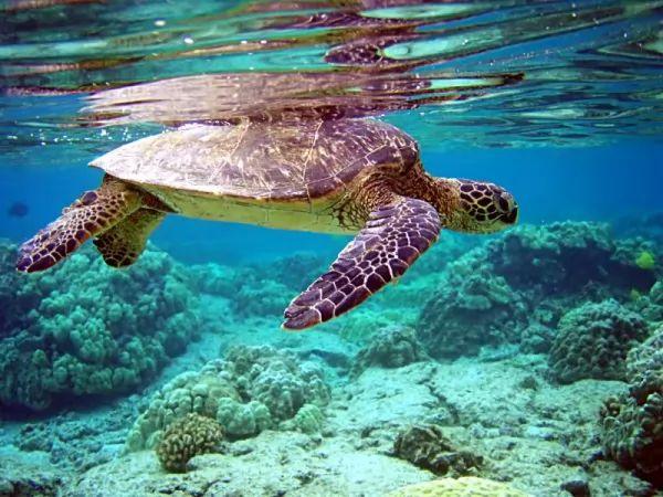 السلاحف البحرية الخضراء