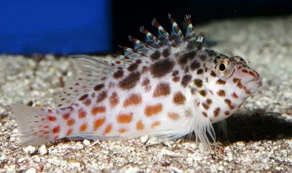 سمكة الصقر