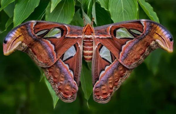 فراشة أطلس Largest-insects_10863_5_1544575252