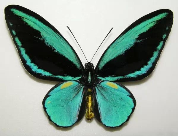فراشة جناح طائر الملكة ألكسندرا Largest-insects_10863_8_1544575256