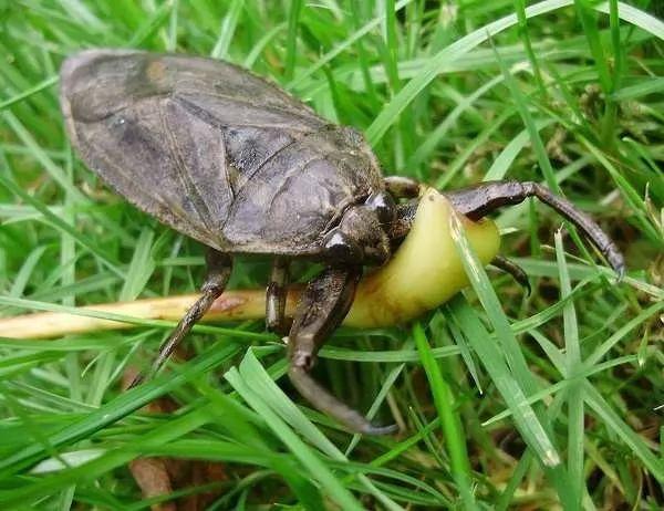 حشرة الماء العملاقة Largest-insects_10863_9_1544575257
