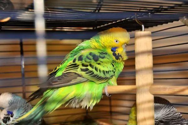 الطيور الأليفة تسبب المتكيسة العضلية