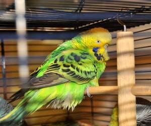 تسمى الأمراض التي يمكن أن تنتقل من الحيوانات إلى الإنسان والعكس بالعكس الأمراض الحيوانية المنشأ، وغالبا ما يتساءل المهتمون من أصحاب الطيور الأليفة ...