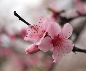 أزهار الكرز هي بعض من أجمل الزهور، وتأتي بألوان زاهية، وتصل شجرة الكرز إلى الإزهار الكامل خلال فصل الربيع، وتحظى أزهار الكرز بشعبية كبيرة حيث يتم ...