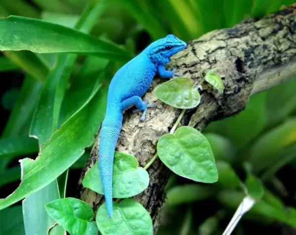 أبو بريص الأزرق الكهربائي Lizards-facts_10934_1_1547477616
