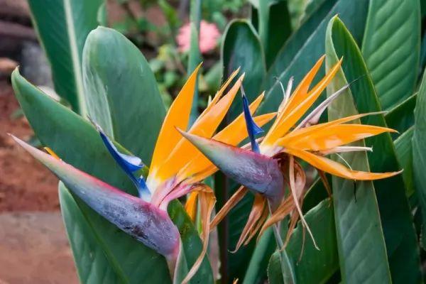 معلومات رائعة عن نباتات طيور الجنة Birds-paradise--facts_11012_1_1551297503