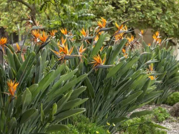 معلومات رائعة عن نباتات طيور الجنة Birds-paradise--facts_11012_1_1551297728