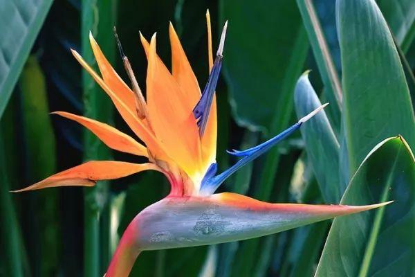 معلومات رائعة عن نباتات طيور الجنة Birds-paradise--facts_11012_2_1551297504