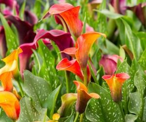 زهرة زنبق الكالا هي واحدة من أجمل الزهور، وبالنسبة للمظهر تعتبر زهرة فريدة من نوعها، وزهرة زنبق الكالا تأتي في مجموعة واسعة من الألوان، بداية من ...