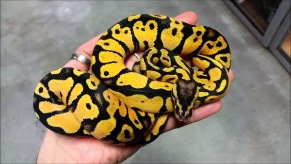 بايثون الكرة من أنواع الثعابين