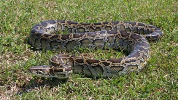 أفعى البايثون البورميه من أنواع الثعابين