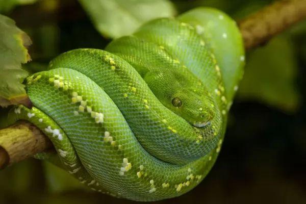 بايثون الأشجار الخضراء من أنواع الثعابين