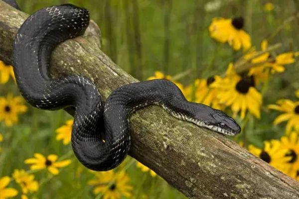 ثعبان الفئران الأسود من أنواع الثعابين