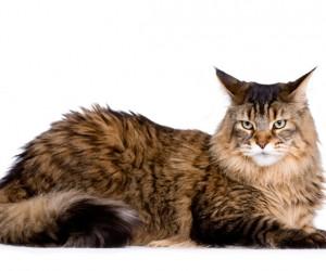 يعرف قط ماين كون باسم العملاق اللطيف، وهو من سلالة القطط متعددة الألوان، ومثله مثل الكلب الدنماركي مع نفس الاسم المستعار، وسلالة قط ماين كون هي سلالة ...
