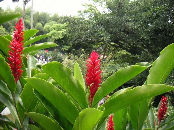 معلومات رائعة عن نبات الخولنجان بالصور Alpinia-facts_11112_3_1555699378