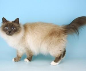 قط بيرمان من القطط المتوسطة إلى الكبيرة في الحجم، والشعر شبه طويل، ويميل لونه إلى اللون العاجي مع نقاط داكنة على الأذنين والوجه والساقين والذيل مع ...
