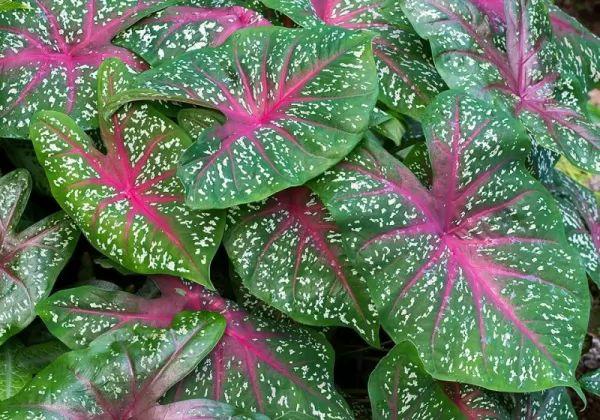معلومات رائعة نباتات الكالاديوم بالصور Caladium-facts_11081_2_1554414687