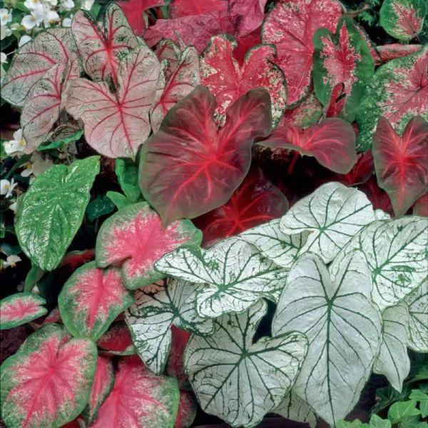 بالصور معلومات رائعة عن نباتات الكالاديوم  Caladium-facts_11081_4_1554414690