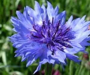 زهرة العنبر زهرة سنوية لديها القدرة على تحمل الجفاف، وموطنها الأصلي في أوروبا، كما أنها توجد أيضا في جميع أنحاء أمريكا الشمالية، والنصف العلوي من ...