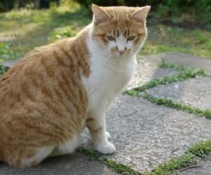 القط الياباني قصير الذيل هو سلالة قديمة كانت موجودة منذ قرون في اليابان، وتعتبر القط ذات الذيول القصيرة شائعة إلى حد ما في القارة الآسيوية وقد تشترك ...