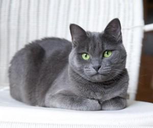 القط الروسي الأزرق هو سلالة القطط القديمة التي تنحدر من الموطن الأصلي للقطط وهو روسيا، والقط الروسي الأزرق قط متوسط الحجم ولديه معطف مزدوج كثيف وقصير ...