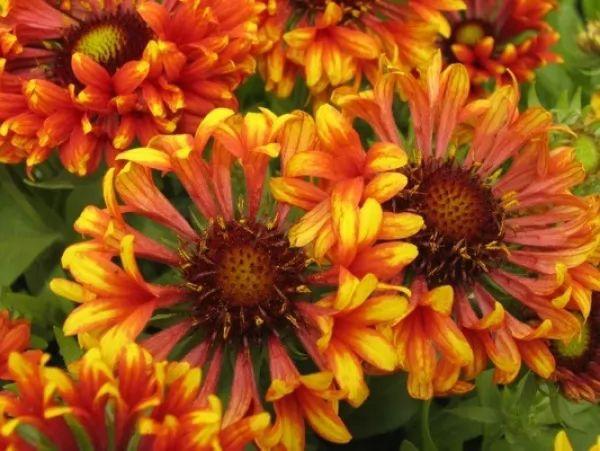 معلومات رائعة عن زهرة الجلارديا blanket-flower-facts