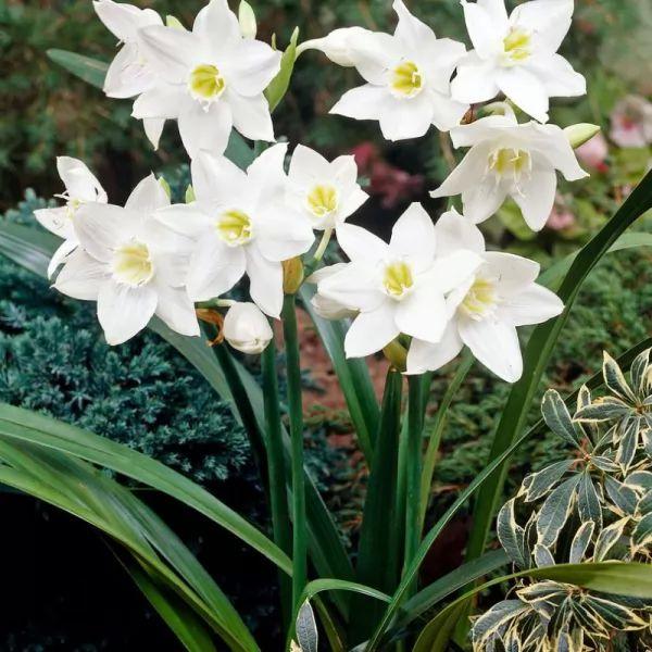 معلومات رائعة عن زهور الزنبق الأمازوني بالصور Amazon-lily-facts_11205_1_1562276834