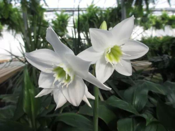 معلومات رائعة عن زهور الزنبق الأمازوني بالصور Amazon-lily-facts_11205_2_1562276835
