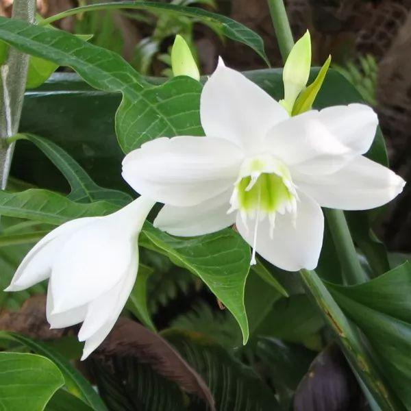 معلومات رائعة عن زهور الزنبق الأمازوني بالصور Amazon-lily-facts_11205_3_1562276836