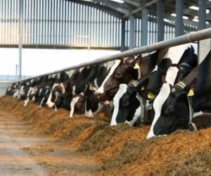 تغذية الأبقار هي جزء من العلم، أو جزء من الفن تم تطويره من قبل المزارعين عبر الأجيال السابقة، ومن الصحيح أن الأبقار لديها أربع بطون، ولذلك تأكل ...