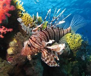 سمكة الأسد واحدة من الأسماك الثمينة في تجارة أسماك الزينة، وسمكة الأسد لديها زعنفة طويلة من الأشواك والألوان الزاهية تجعل لها شعبية كبيرة، في حين أن ...