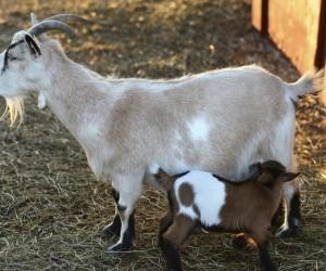 إنتاج الحليب يأخذ الكثير من الماعز، سواء أكانت تطعم صغارها أو توفر منتجات ألبان تجارية، وسواء كانت تغذي الماعز صغارها بالفعل أم لا، فهذا ما يعتقد ...