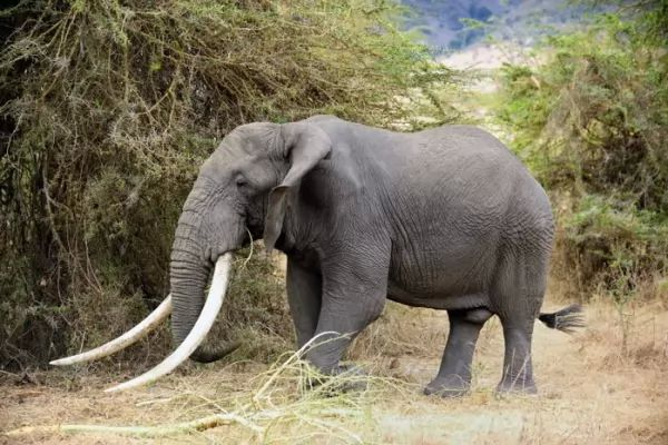 أنياب الفيل قرون وحيد القرن