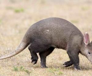 بالنسبة للعديد من الأشخاص، فإن الأمر الأكثر غرابة عن حيوان مرموط خنزير الأرض هو اسمه الذي وضعه في الصفحة الأولى من كتاب الحيوانات من الألف إلى الياء، ...