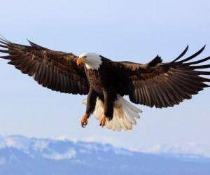 النسر الأصلع هو الطائر الوطني وكذلك الحيوان الوطني للولايات المتحدة الأمريكية، وإنه نسر فريد في نوعه في أمريكا الشمالية، ويتراوح مدى إنتشاره من شمال ...