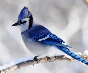 طائر القيق الأزرق أو طائر الجاي الأزرق طائر ثرثار ملون يشاهد عادة عند الجداول المائية والروافد في أمريكا الشمالية، ويسمى أيضا الطائر الثرثار الأزرق ...