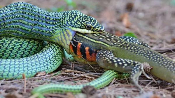 ما هو أكبر حيوان يمكن snake-facts_11387_2_