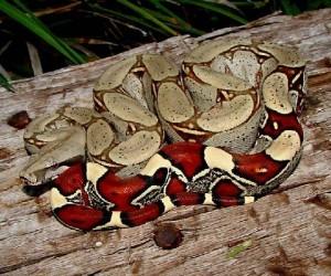 أفعى البوا العاصرة هي مجموعة من الثعابين غير السامة التي تضم حوالي 36 نوعا من الثعابين، وتوجد أفعى البوا العاصرة في أمريكا الشمالية وأمريكا الجنوبية ...