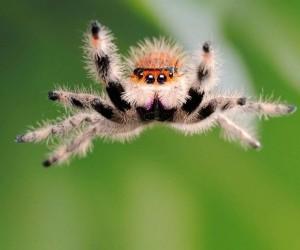 يمكن أن تقفز العناكب القافزة أضعاف طول جسمها حتى تصل إلى خمسين ضعفا، وتنقض على الفريسة من مسافة بعيدة، ومعظم العناكب القافزة صغيرة إلى حد ما، لذلك ...