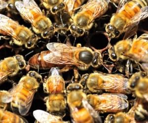 معظم ذكور النحل لا يحصلون إلا على محاولة واحدة، وليس لديهم وقت حتى لتناول العشاء، فماذا تفعل ذكر النحل للتأكد من أن الملكة تتذكره دائما، هل يأتي ...