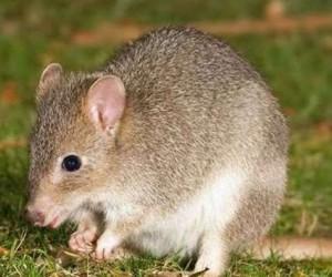 اختفى الفأر برامبل كاي ميلوميز الأسترالي من جزيرته بالقرب من الحاجز المرجاني العظيم، وقد أفاد العلماء في يونيو 2016 أن القوارض الصغيرة التي تعيش في ...
