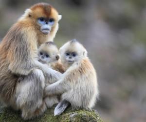 أن تكوني أما هذا صعبا، ولكن تخيل أن تربي أطفالا من شخص آخر أيضا، فهذا هو المعيار بالنسبة إلى بعض أنواع من القرود مثل القرد الذهبي أفطس الأنف، وفقا ...
