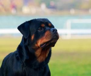 ليست كل أنواع الكلاب لطيفة كما يبدو، فهناك مجموعة من أشرس أنواع الكلاب التي بالفعل يجب الحرص عند مقابلتها وجهاً لوجه، ويزداد الإقبال على تربية هذه ...