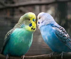 غالبا ما ينظر إلى ببغاء البادجي أو ما يسمى أيضا ببغاء البراكيت على أنه طائر من الطيور المناسبة للمبتدئين، ومع ذلك، فإن هذا الطائر الإجتماعي الصغير ...