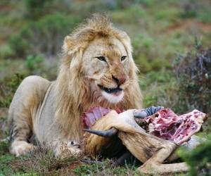 آكلات اللحوم هي حيوانات أو نباتات تتغذى على لحم الحيوانات، وتنتمي معظم الحيوانات آكلات اللحوم وليس كلها إلى رتبة آكلة اللحوم، ولكن ليس كل أعضاء رتبة ...