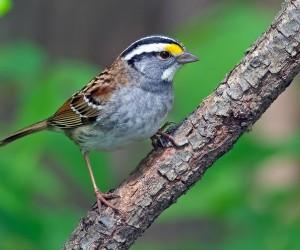 عصفور الدوري من أكثر الطيور أنتشارا والأكثر شيوعا في العالم، ولكن ما هو عصفور الدوري؟ الحقيقة إن معرفة ما الذي يجعل عصفور الدوري عصفورا يمكن أن يساعد ...