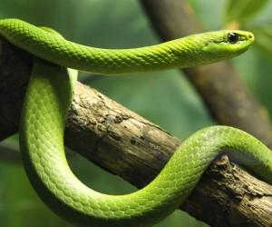 تعد إفريقيا موطنا للعديد من أنواع الثعابين المختلفة، وبعضها من بين أخطر أنواع الثعابين في العالم، وتتراوح أنواع الثعابين الأفريقية من الأنواع ...