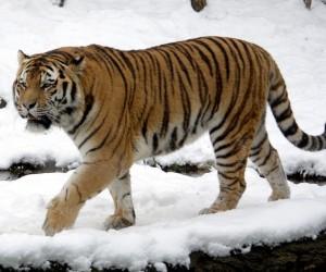 نمر آمور هو أكبر القطط في العالم، ونمر آمور هو أكبر الأنواع الفرعية من النمور، ويقف مع ارتفاع حوالي ثلاثة أقدام عند الكتف، وهو ليس طويل القامة مثل ...